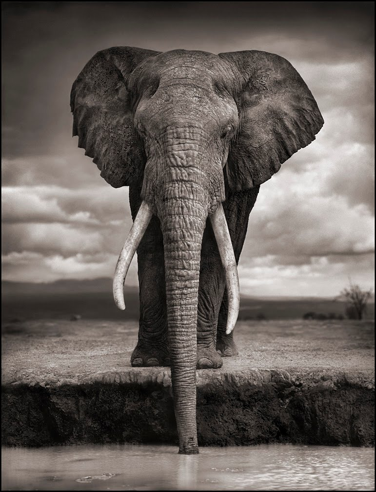 Nick-Brandt-Elephant-Drinking