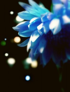 dreamy-artistic-blue-dahlia-flower-photo