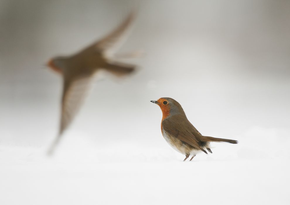 european-robin-electromagnetic-migration-01_79396_990x742